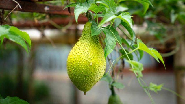 ¿Qué es el jackfruit? Comprar jackfruit en Madrid