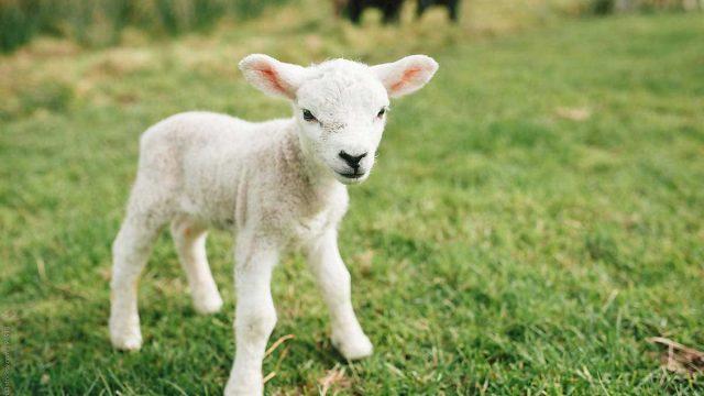 ¿Cuántos animales salva un vegano?